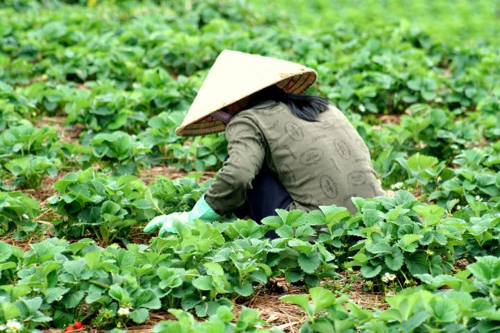 Women in a Dalat field wearing a conical hat