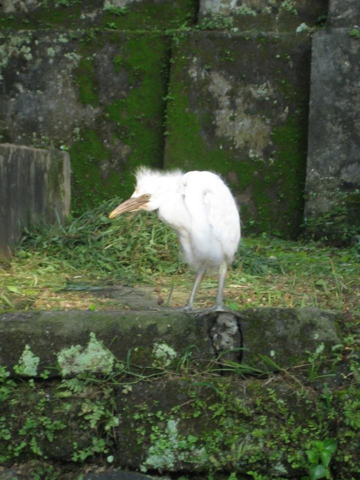 The white heron of Ubud, Bali