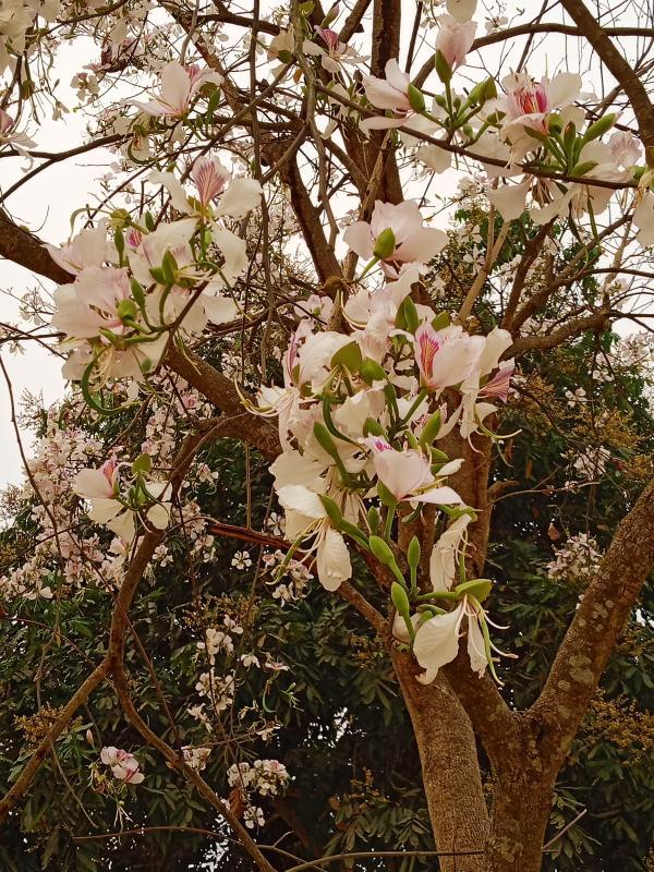 Hoa Ban Flower Tree at Dien Bien Phu