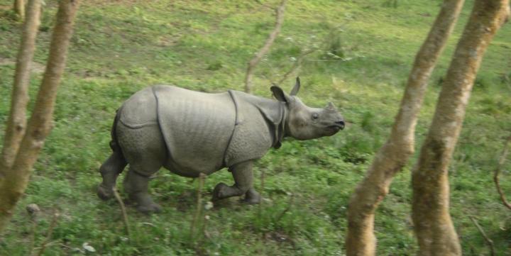 Baby Rhino  Chitwan National Park  Nepal
