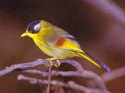 Silver eared Mesia at Doi Inthanon National Park, Thailand