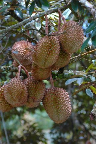 Philippines, Mindanao, Durian fruit