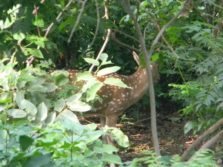 Corbett deer