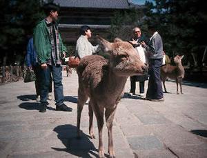 Sacred deer in Nara Park