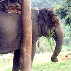 An elephant, near Mae Rim, Thailand.