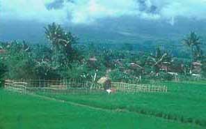 Javanese rice paddies