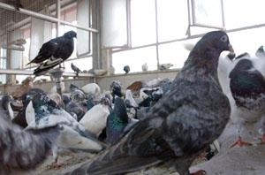 Sick pigeons rest inside a cage at Delhi's Charity Birds Hospital.
