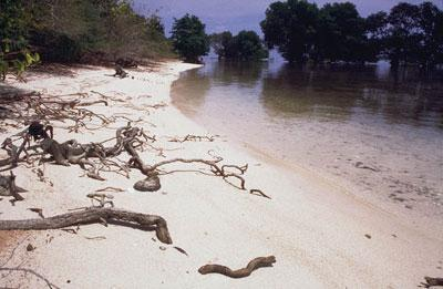White Beach mangrove forest known as Pasir Putih