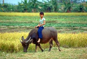 Boy on Buffalo. Vietnam.