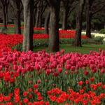 Hibiya Koen is one of Tokyo's most beautiful and popular parks. In the spring, its paths burst into bloom with countless thousands of colorful tulips.