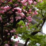 In addition to the ubiquitous cherry blossoms, Springtime in Japan brings forth a rich variety of florals, including azaleas, hydrangeas, camillias, tulips, quince, and flowering plum.