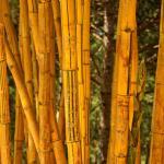 Bamboo grove, Dalat, Vietnam.