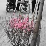 Tet Blossom Tree
