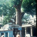 The 3,500 year old Mango tree at Sri Ekambaresvara Temple.  Kanchipuram, India.