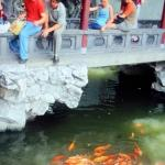Feeding the golden carp is a popular pasttime, in the Yu Yuan Gardens. Shanghai, China.