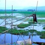 Nagaon, Assam, India: Fishermen trawl the rice paddies for the succulent Chital and Margur fish.