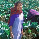 Shillong, Meghalaya, India: A young Khasi lady harvests cabbages atop Shillong Peak.