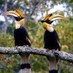 Hornbill, Khao Yai National Park, Thailand.