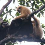 Gibbons, Khao Yai National Park, Thailand.