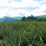 Philippines, Mindanao, South Cotabato, Polomolok, Mt. Matutum, Dole Pineapple field