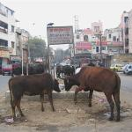 Cows are a major traffic hazard in India