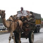 Camels in India often act like they own the road