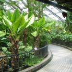 Typhonodrum lindleyanum