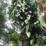 Aristolochia papillifolia