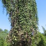 Hodgsonia macrocarpa var. capriocarpa