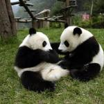 Giant Pandas are mainly distributed in Wolong Nature Reserve, taking up to 10% of the total number of giant panda in China.