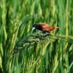 Philippines, Mindanao Countryside. Chestnut Munia in ricefield