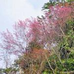 Peach Blossom - Sapa, Vietnam
