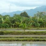 Koronadal city, rice paddy