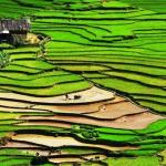 Rice Field in Sapa, Vietnam