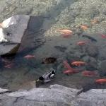 The fish and ducks are clearly seen swimming in the Miyagawa River (c) Sze-Leng Tan
