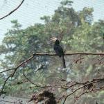 Mulu, Sarawak, Malaysia The bizarre-looking hornbill