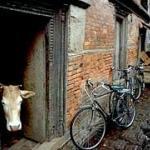 Cow in a doorway, Kathmandu, Nepal.