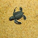 Henry, one hour old and little bigger than a bug, heads for the South China Sea after being released on a beach at the Ma'Daerah Turtle Sanctuary on the east-coast of Malaysia.