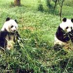 White-and-black pandas enjoying the bamboo, in Chengdu, China.