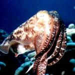 A reef cuttlefish.