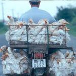 Ducks enjoy a bumpy ride, on the road to My Tho, Vietnam.