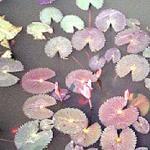 Lotus Flowers. Sukhothai, Thailand.