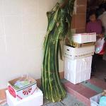 Large pandan leaves, about 5 ft in length, are cut to size and used instead of bamboo leaves.