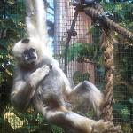 White-handed gibbons [seen here in an Australian zoo] distinguish themselves by swinging from branch to branch rather than jumping like the langurs.