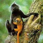 Silvered Langur and its young...
