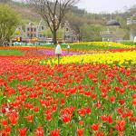 Tulip Festival at Everland