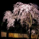 A shot of the nighttime cherry blossom viewing.