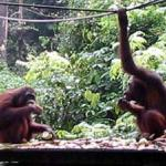 Orang Utans at the Sepilok Rehabilitation Center