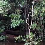 Pockets of swamps along the tributaries of Kinabatangan River.